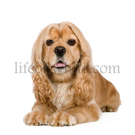 american Cocker Spaniel (3 years)