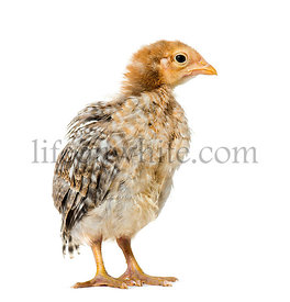 Domestic chick standing against white background