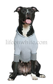 Dressed American Staffordshire Terrier, 30 months old, sitting