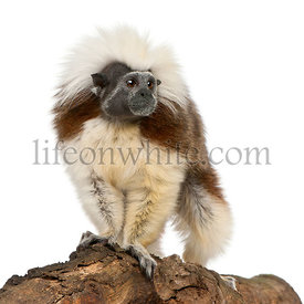 Cottontop Tamarin, Saguinus oedipus, standing on log in front of white background
