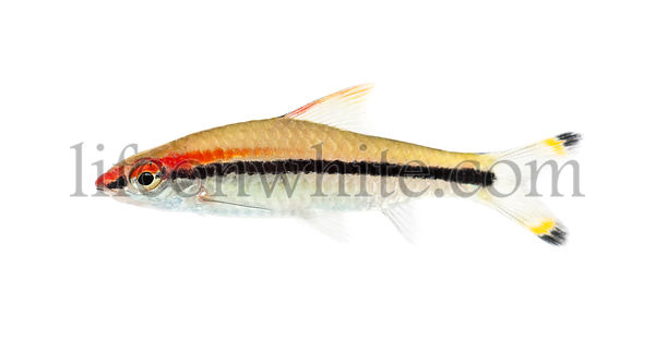Side view of a Denison barb, Sahyadria denisonii, isolated on white
