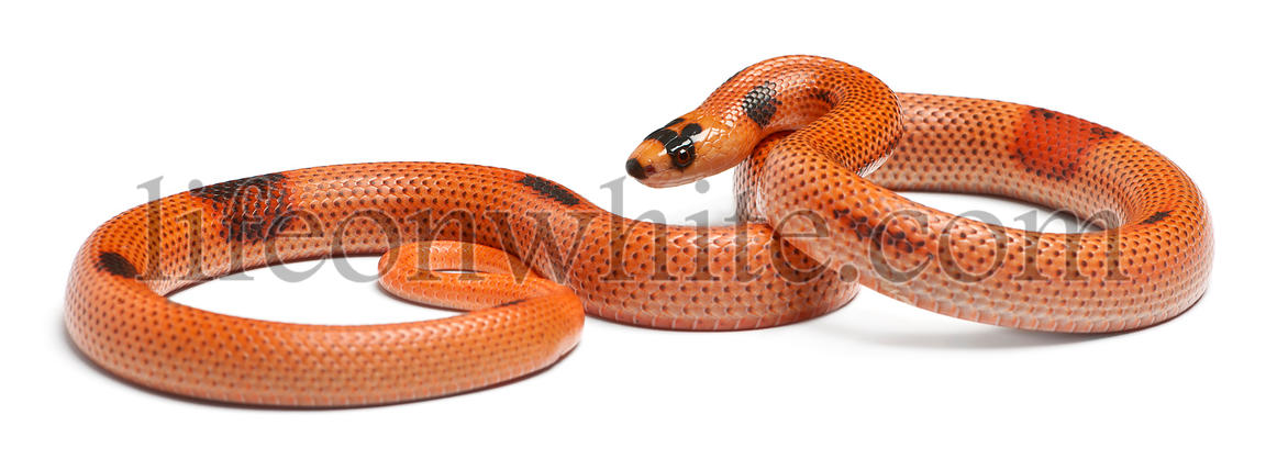 Tricolor sunrise patternless reverse Honduran milk snake, Lampropeltis triangulum hondurensis, in front of white background
