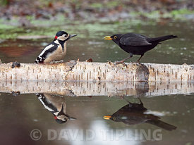 Great spotted Woodpecker  Dendrocopos major male and male Blackbird Turdus merula North Norfolk winter