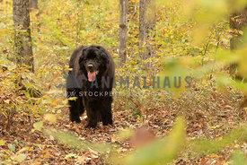 A newfoundland hiking through an autumn forest