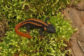 A juvenile of the Red-tailed Knobby Newt , Tylototriton kweichowensis on green moss