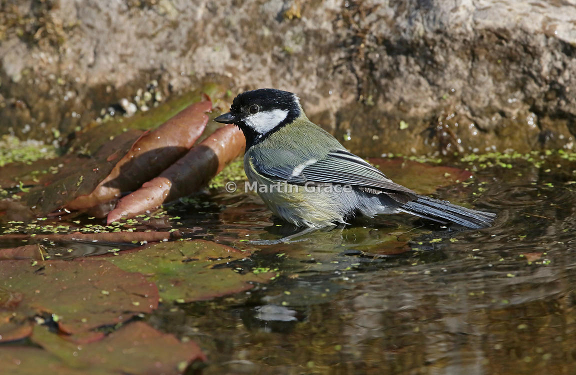 Great Tit (Parus major) in the garden pond, Lake District National Park, Cumbria, England