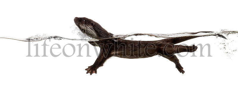 Side view of an European otter swimming at the surface of the water, Lutra lutra, isolated on white