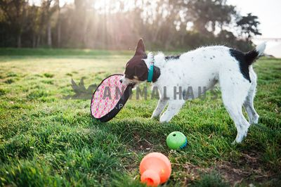 A jack russell terrier shaking a frisbee at the park