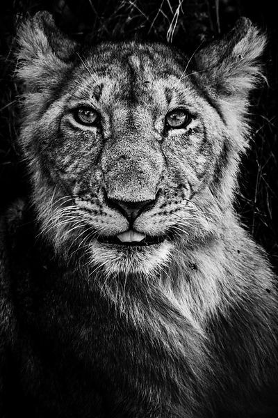 05473-Lion_insolent_Kenya_2019_Laurent_Baheux