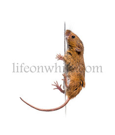 Eurasian harvest mouse, Micromys minutus, climbing in front of white background
