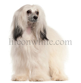 Chinese Crested Dog, 15 months old, in front of white background