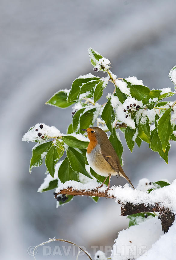 Robin Erithacus rubecula in snow covered bush in garden Norfolk winter