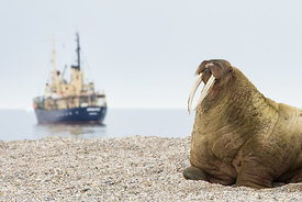 Walrus on the Beach - Svalbard 2015