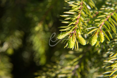 Kuusenkerkkä on kuusen nuori verso.|||Young sprout of spruce tree.