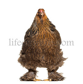 Brahma hen, standing against white background