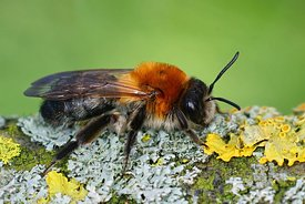 Closeup of the colorful female of the Grey-patched Mining Bee, Andrena nitida