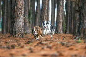 Australian shepherds running in a forest
