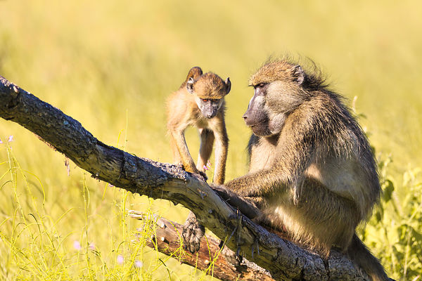 Baboon Adult and Baby