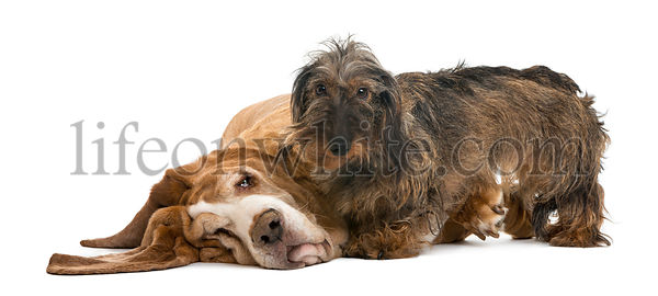 Dachshund standing next to a Basset Hound lying, isolated on white