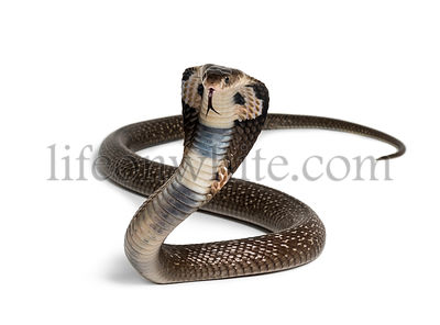King cobra, Ophiophagus hannah, venomous snake against white background looking at camera against white background