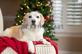 Dog on a red blanket in front of Christmas tree