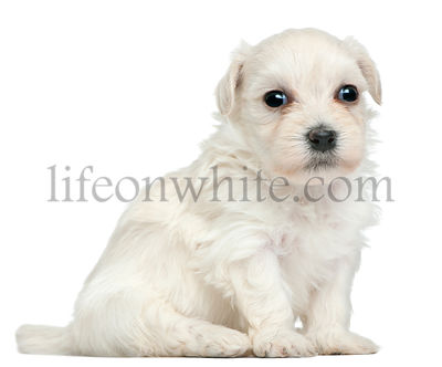 Lowchen or Little Lion puppy, 3 weeks old, sitting in front of white background