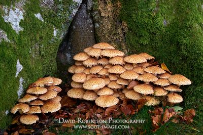 Prints & Stock Image - Flaky Pholiota, Shaggy Scalycap, Pholiota squarossa, Perthshire, Scotland.  At the base of a beech tree