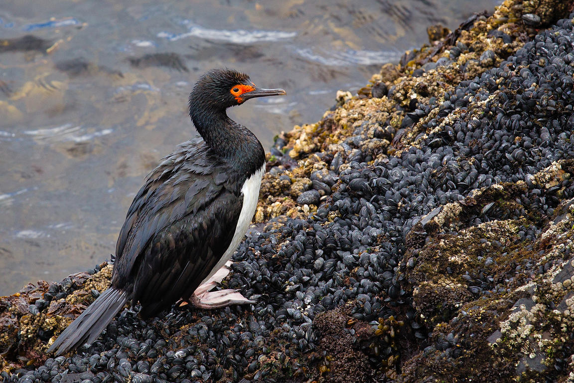 Side view of a rock cormorant (Phalacrocorax magellanicus) on a rock in the Beagle Channel, south America.