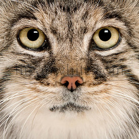 Pallas\\'s cat, Otocolobus manul, 11 years old, close-up