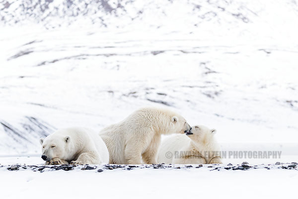 Two polar bear cubs kissing while their mother is sleeping, Svalbard, Norway