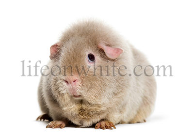 Teddy Guinea Pig, against white background