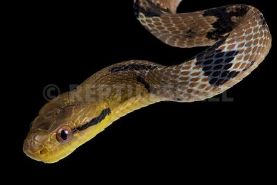 Dog toothed catsnake  (Boiga cynodon)