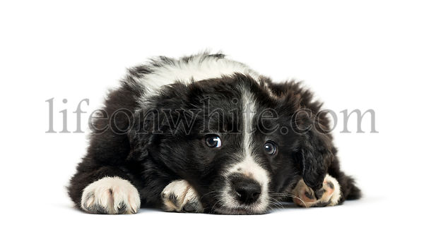 Border Collie looking at camera against white background