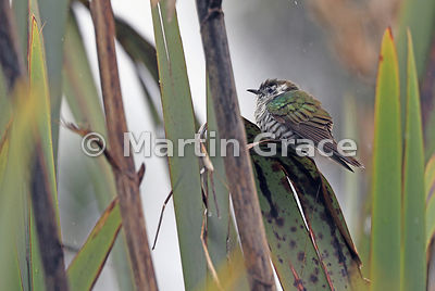 Shining Cuckoo (Shining Bronze-Cuckoo) (Chalcites [Chrysococcyx] lucidus lucidus), Okarito, West Coast, South Island, New Zea...