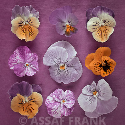 Nine Pansy flowers