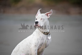 close up of white boxer with ears blowing in the wind