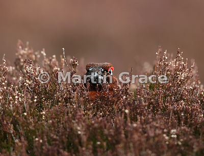 Male Red Grouse (Lagopus lagopus scotica) lying low, relying on his camouflaged plumage not to be seen, Lochindorb, Scottish ...