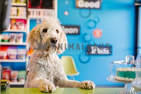 A large cream doodle begging at the counter of a retail store