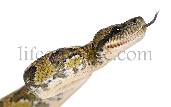 Close-up of Boa manditra, Sanzinia madagascariensis, 2 years old, in front of white background