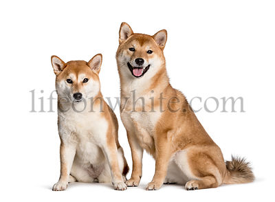 Shiba Inus sitting against white background