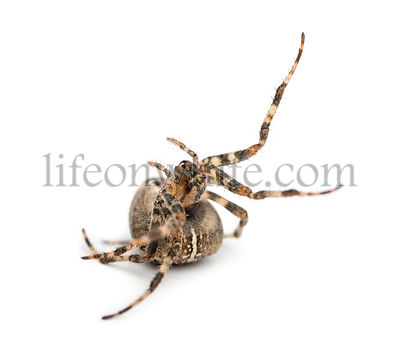 European garden spider, Araneus diadematus, rolling over against white background