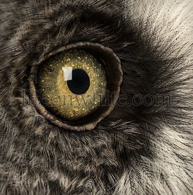 Macro of a Great Gray Owl\'s eye, Strix nebulosa, isolated on white