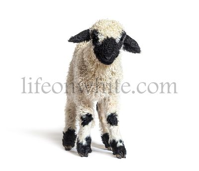 Lamb Blacknose sheep three weeks old, isolated on white