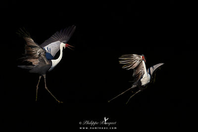 Wattled cranes courtship dance