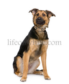 Mixed-Breed Dog between a german shepherd and a beauceron