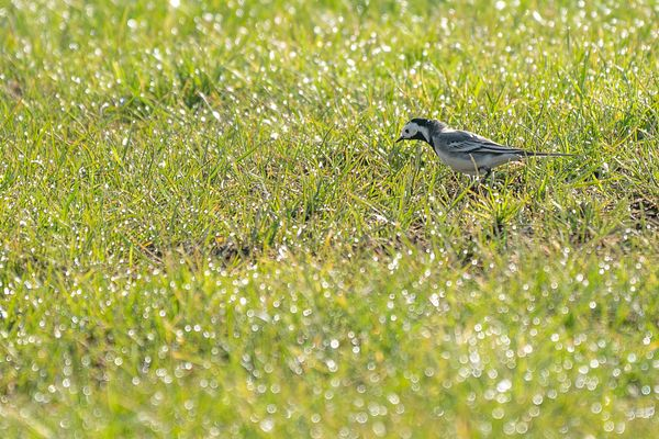 White wagtail in dewed meadow 1