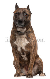 American Staffordshire Terrier dog, 12 years old, sitting in front of white background