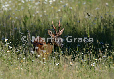 Roe Deer buck (Capreolus capreolus) dozing in late afternoon sunlight in a South Lakeland grazing meadow with prominent Oxeye...