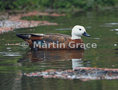 Female Paradise Shelduck (Tadorna variegata) on water, Kapiti Island, Wellington, North Island, New Zealand