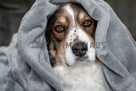 A shepherd dog cozy in a blanket